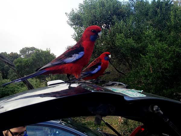 Two Crimson Rosellas (birds)